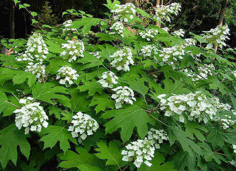 clustering of white flowers on an oakleaf hydrangea