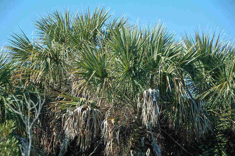 large grouping of sable palms