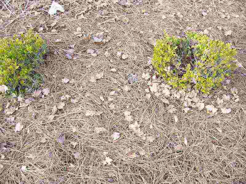 dead pine needles layered around small bushes as mulch