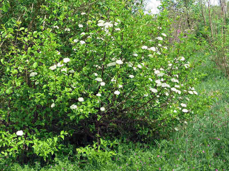 bunches of white flowers from a blackhaw viburnum shrub