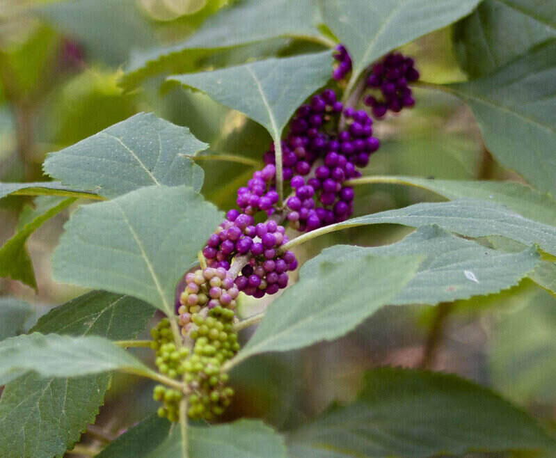 American beautyberry branch with green and purple berries all along the branch