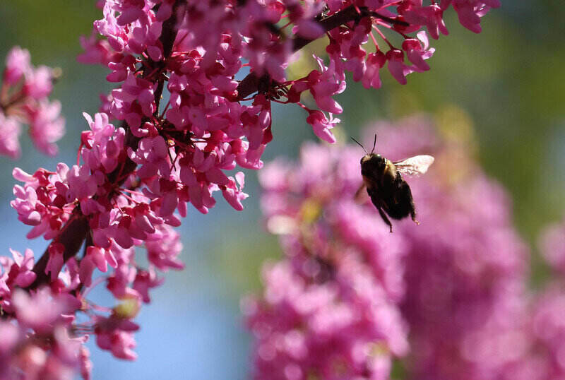 pink eastern redbud flowers with a bee hovering nearby