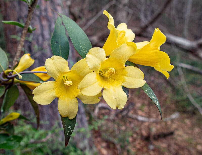 bright yellow carolina jessamine flowers
