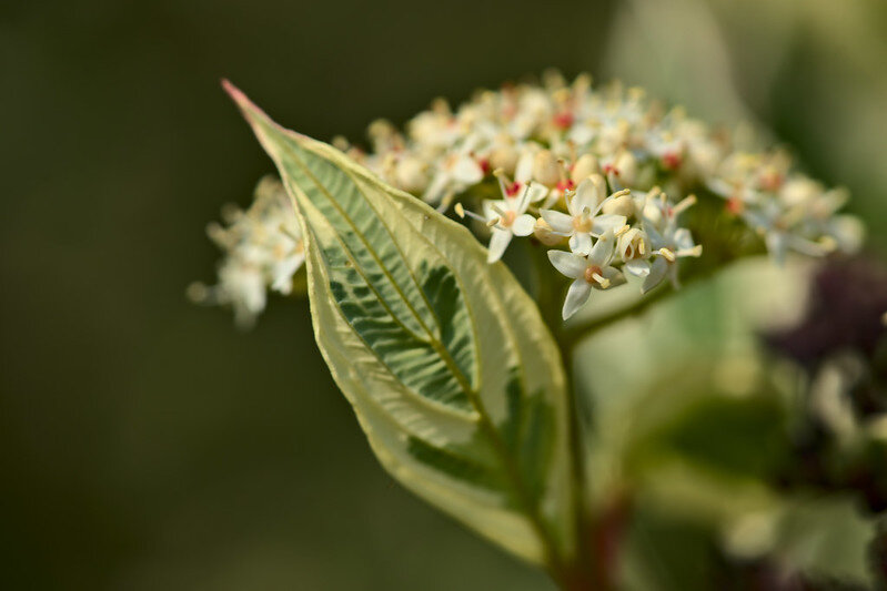 close-up white flowers from a flowering dogwood