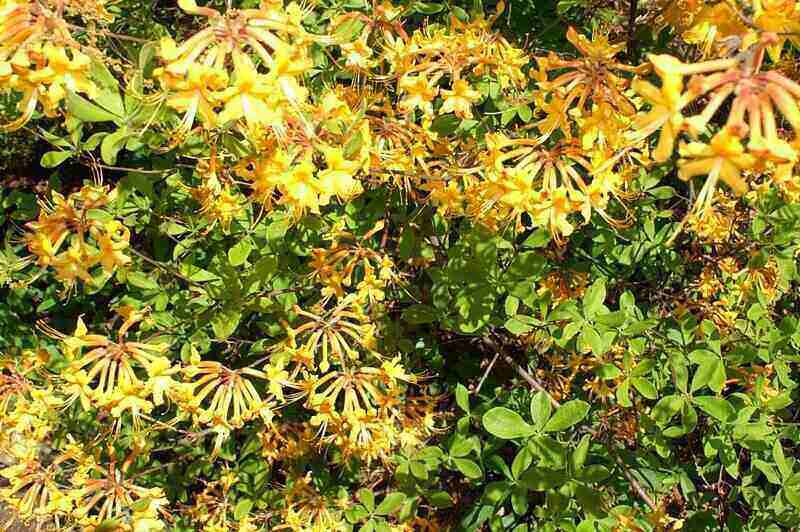 vibrant yellow flowers from a Florida flame azalea plant