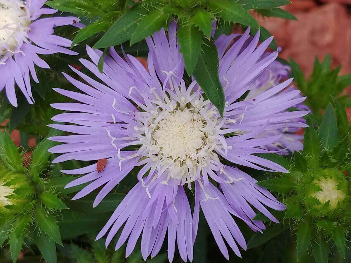 close-up of a light purple stokes aster flower