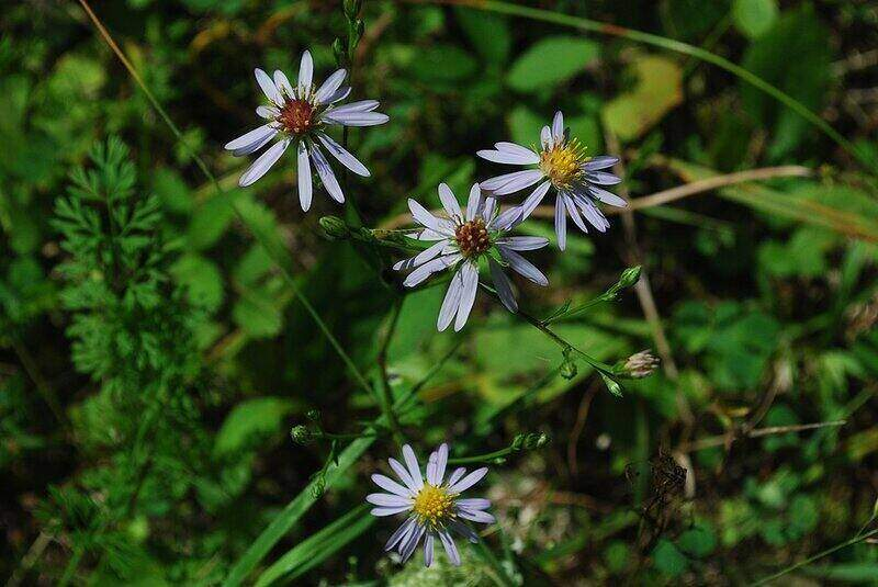four blooms of smooth blue aster flowers