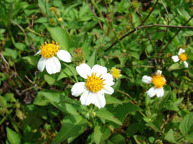 Close-up of Bidens alba which are white flowers with a yellow center