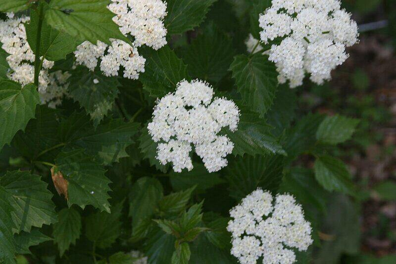 clusters of small white flowers from the southern arrowwood planet