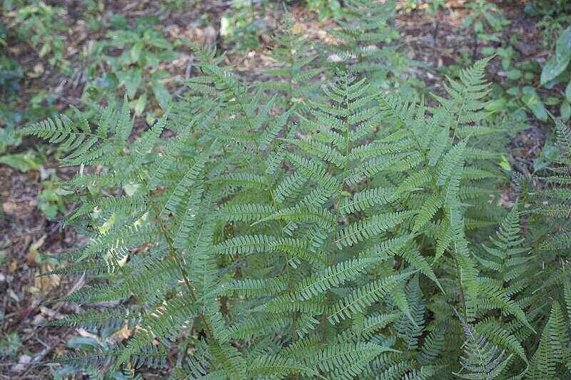 cluster of fern fronds from a southern lady fern