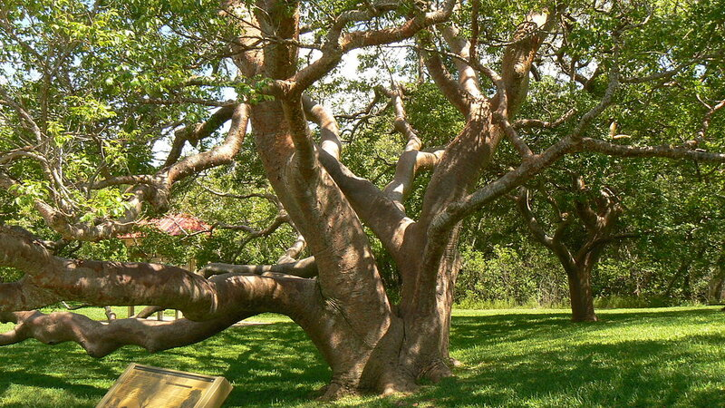 large gumbo limbo with a thick trunk and thick limbs