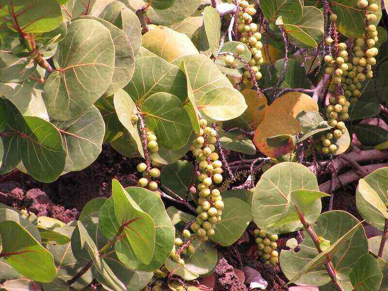 long clusters of sea grapes surrounded by large leaves