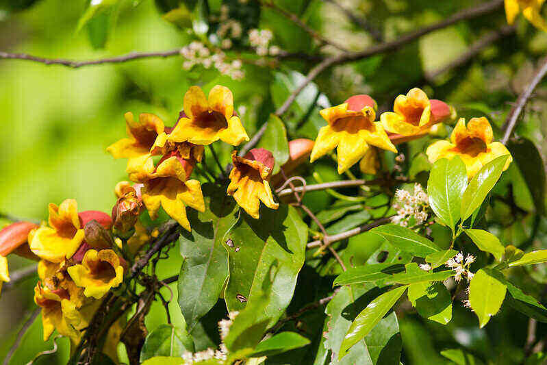 vibrant crossvine flowers with yellow petals and red centers