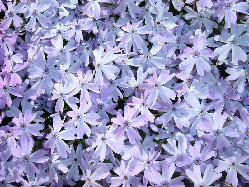 pale blueish-purple flowers of a phlox perennial plant