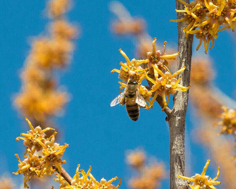 ozark witch hazel with a bee on its yellow petals
