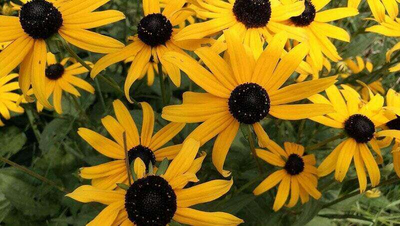 vibrant yellow petals from black-eyed susans