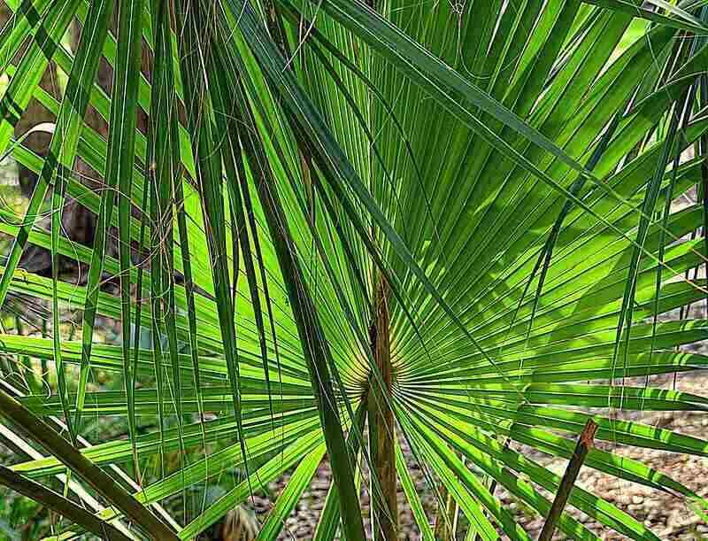 close up of palm fronds form a sabal palm