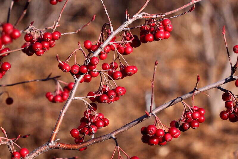 small red berries from a chokeberry tree