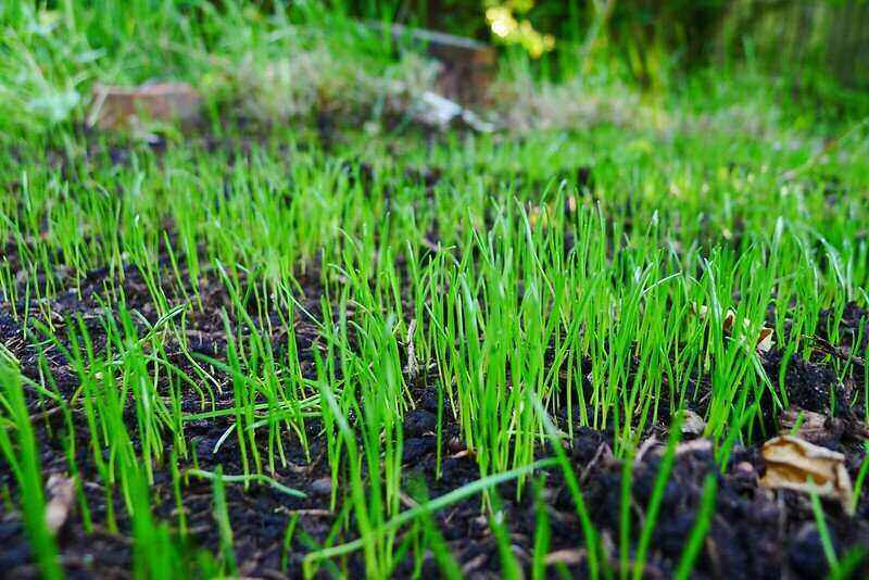 new grass sprouting in dark dirt