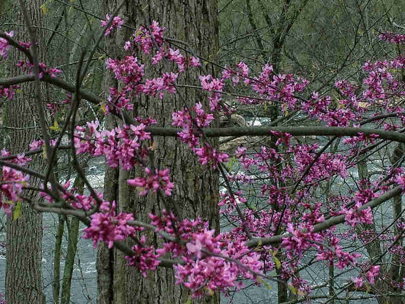 small pinkish-purple flowers from an Eastern redbud tree