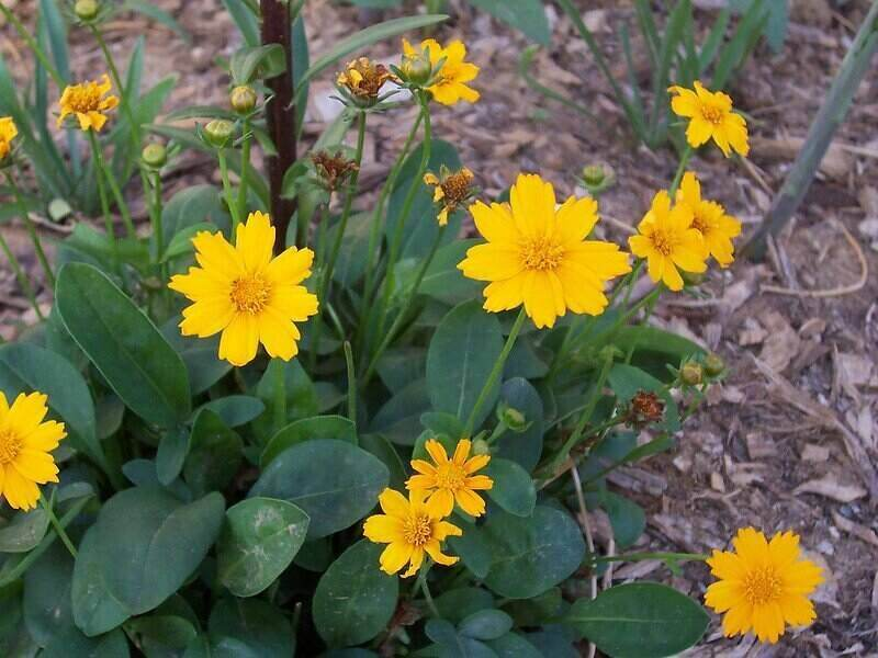 bright yellow flowers of eared coreopsis