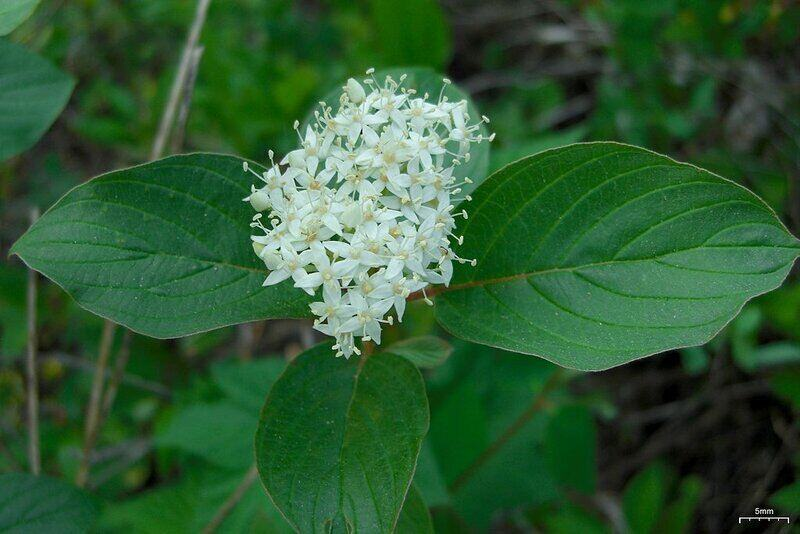 cluster of tiny white flowers in the middle of green leaves from a Red-osier dogwood