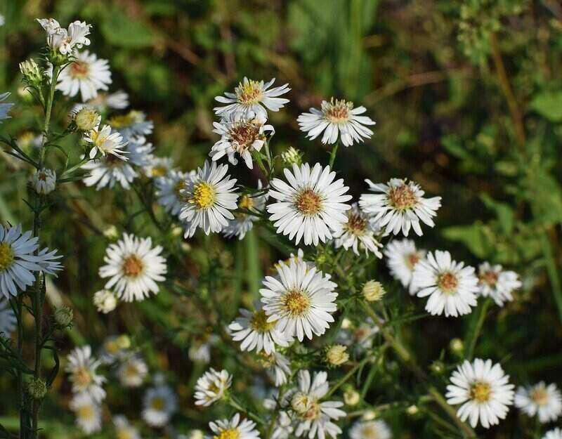 small White heath aster flower